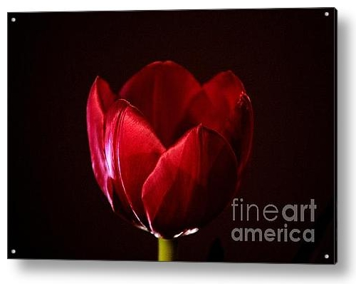 Red Tulip, by Stephen Mitchell, on FineArtAmerica